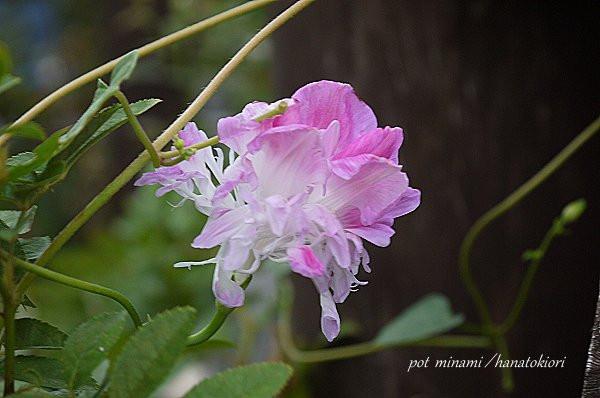 Asagao_2012_0919_064947p1140325_2